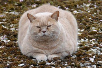 katze zu dick