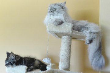 kratzbäume für grosse Katzen